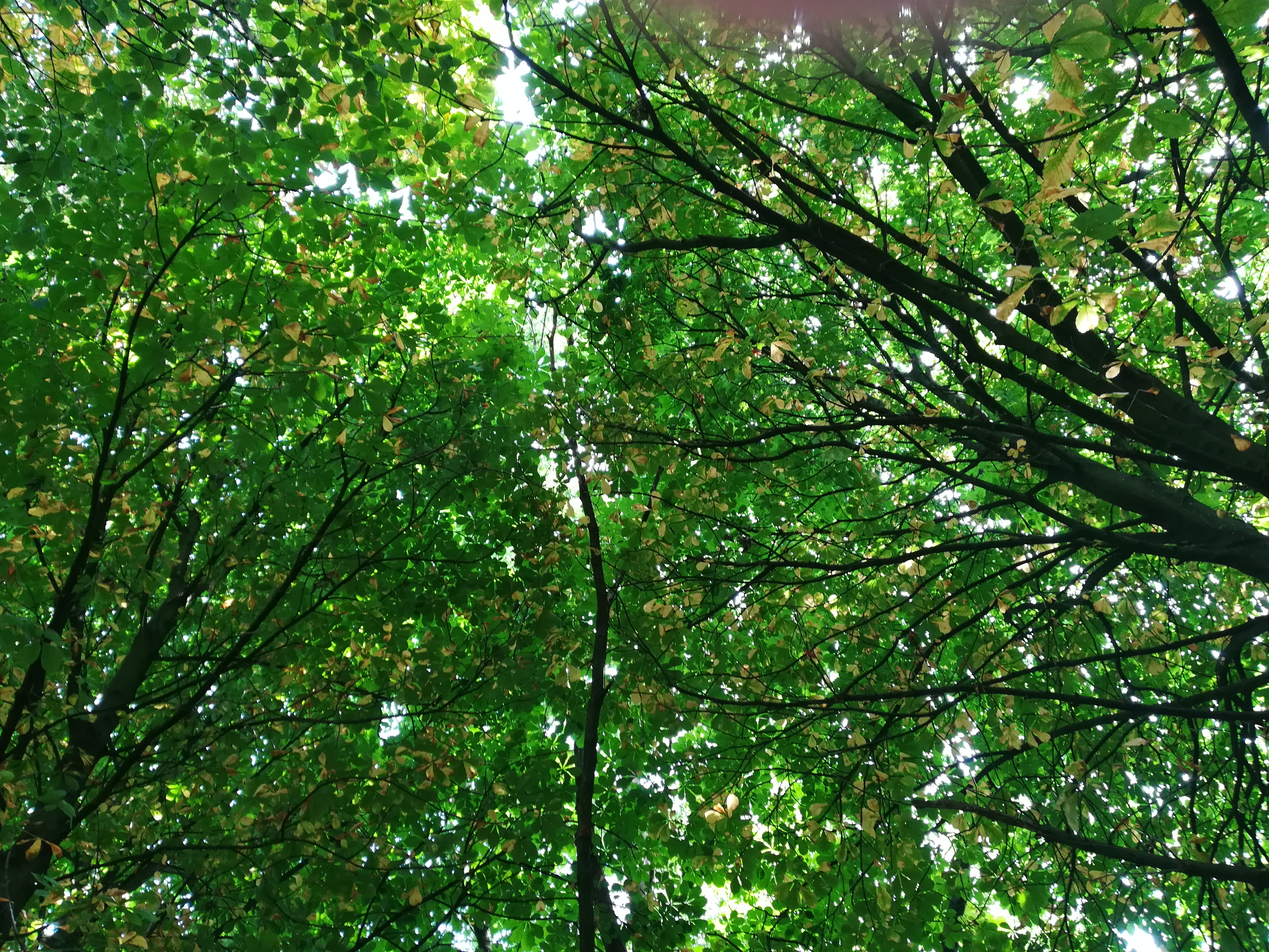 The joined canopies of many trees in leaf, taken from beneath.