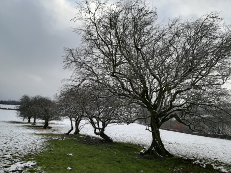 A row of nine Hawthorn trees receding into the distance. There is snow on the ground and on their branches