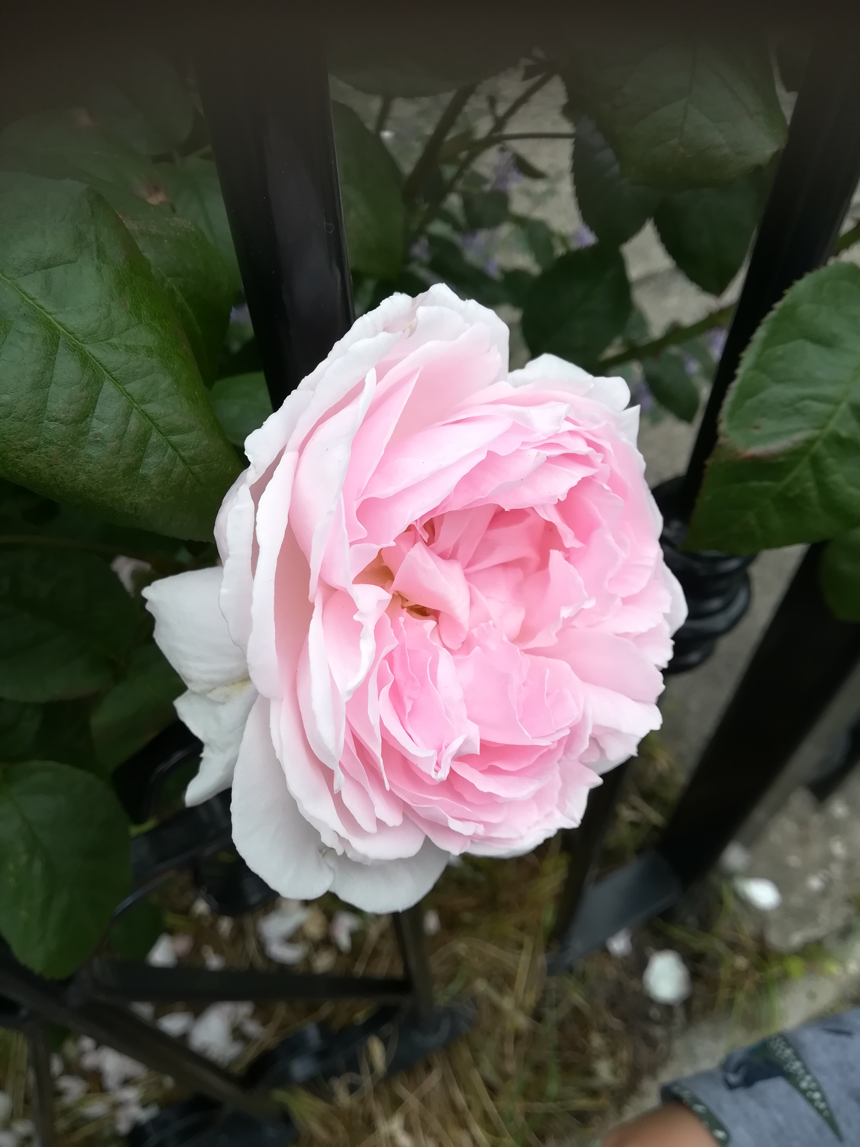 a pink rose in full bloom peeps out from between the black bars of a fence